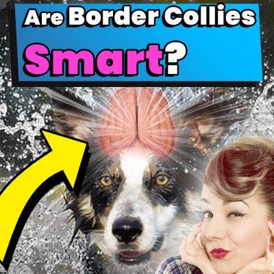 Are Border Collies Smart?