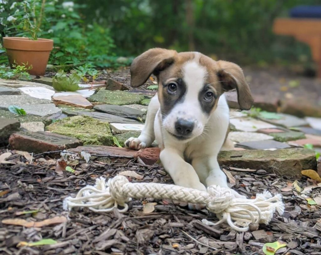 lab mix with interactive dog toys