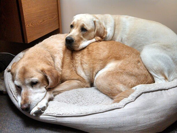yellow labs should i get a dog