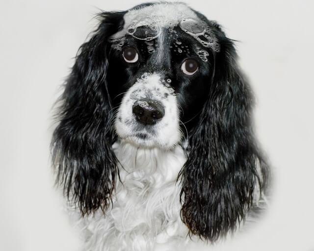 best dog shampoos english springer spaniel