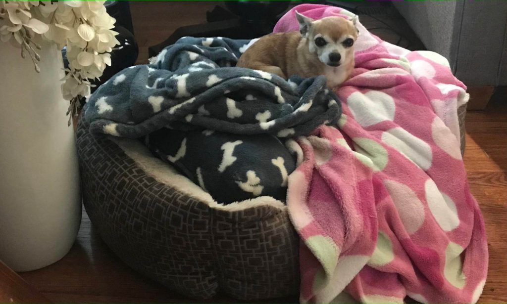 chew proof dog bed teacup chihuahua