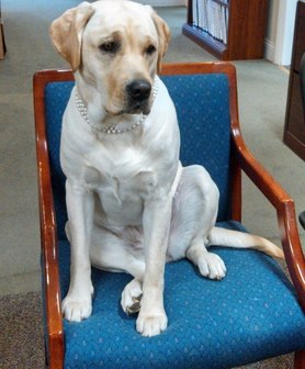 how to teach a dog to sit luring yellow lab