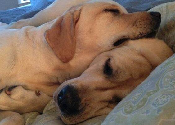 should my dog wear a collar at home yellow lab