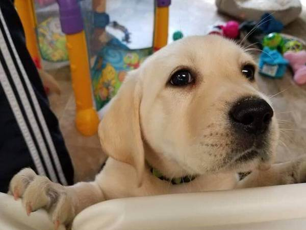 quietest hair clippers yellow lab