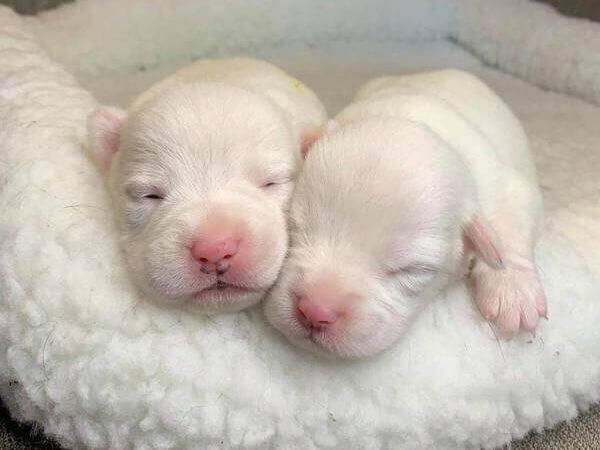 white-baby-labrador-puppies