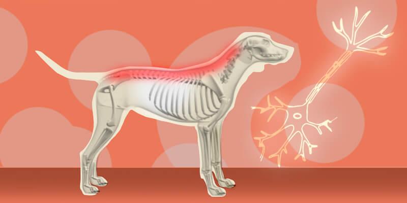 Euthanize-a-Canine-with-Degenerative-Myelopathy