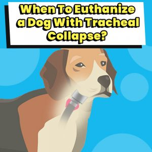 When To Euthanize a dog with tracheal collapse (1)