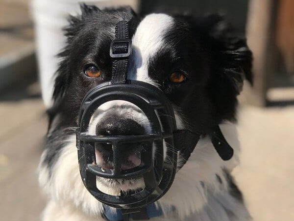 border collie basket dog muzzle