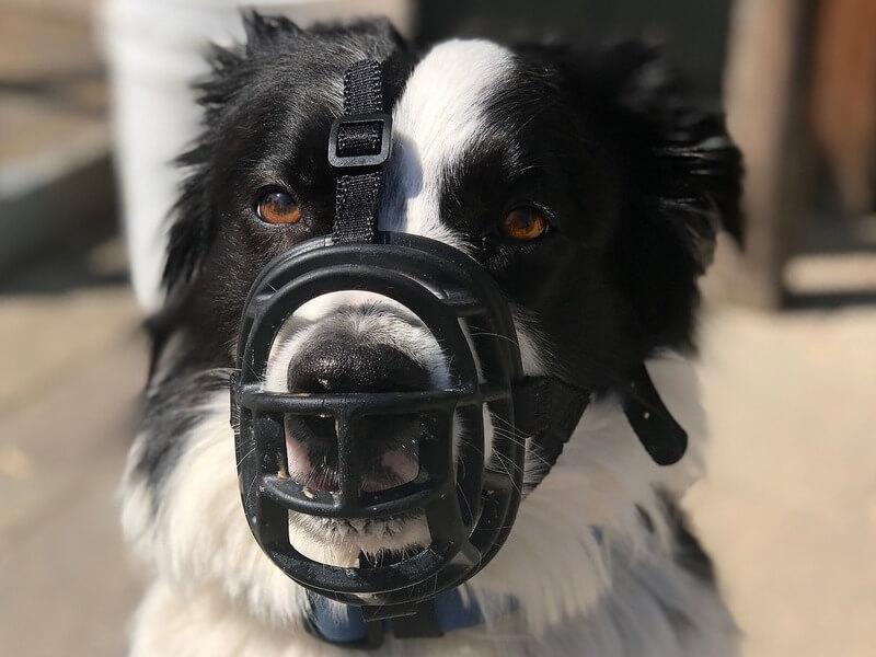 border collie muzzle