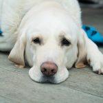 dog showing symptoms of liver disease