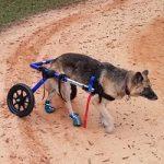 german shepherd dog wheelchair