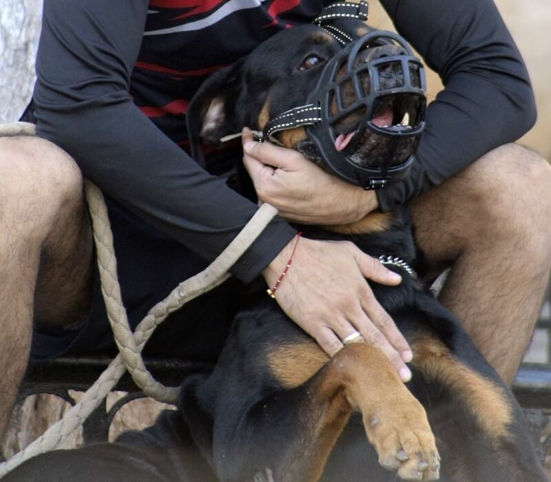 how to muzzle a dog female rottweiler
