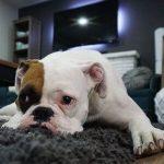 sad boxer dog clinical signs