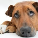 signs of cognitive dysfunction in dogs