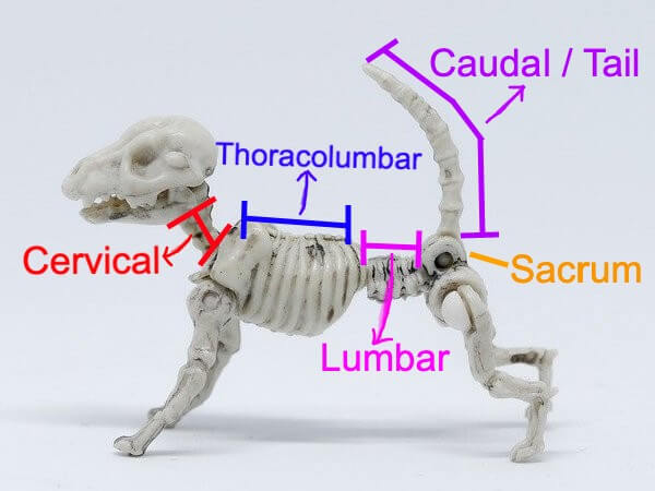 thoracolumbar spine canine skeleton