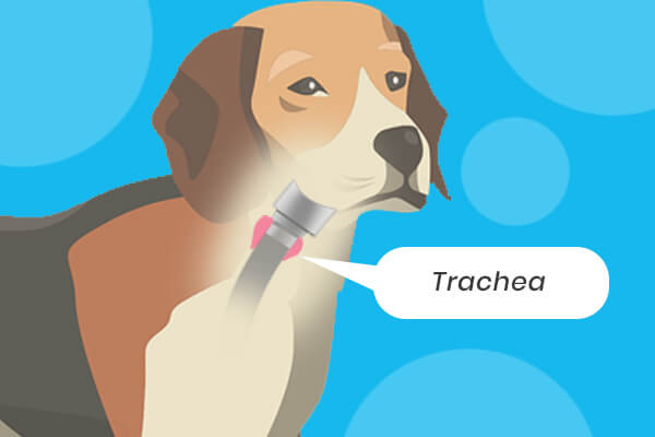 When Should You Euthanize A Dog With Tracheal Collapse?