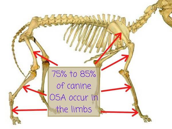 dog skeleton osteosarcoma in dogs