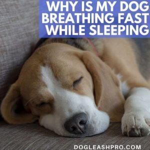 dog breathing fast while sleeping
