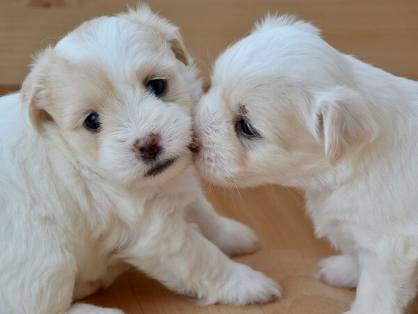 how many times can a dog have puppies