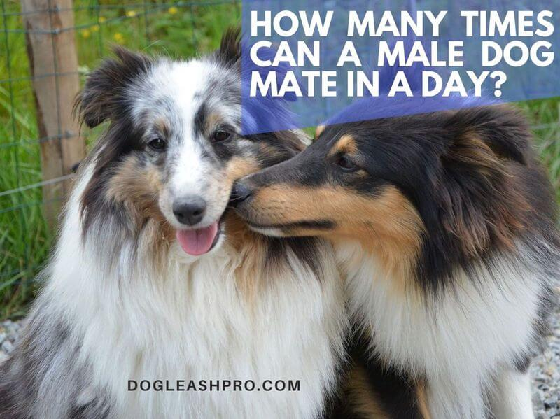 how many times can a male dog mate in a day