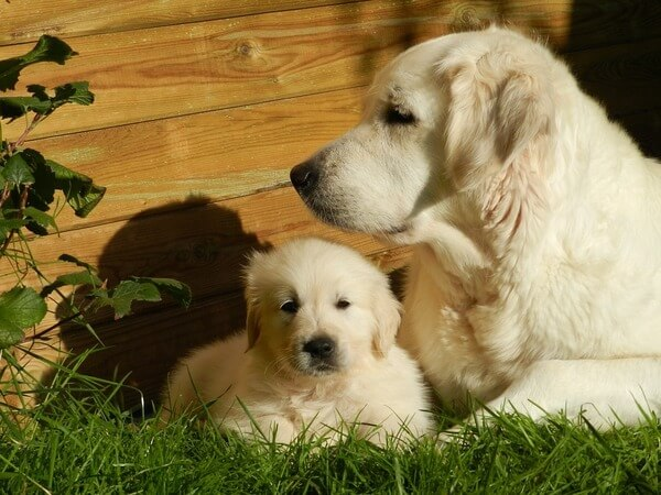 how old is too old for a dog to have puppies
