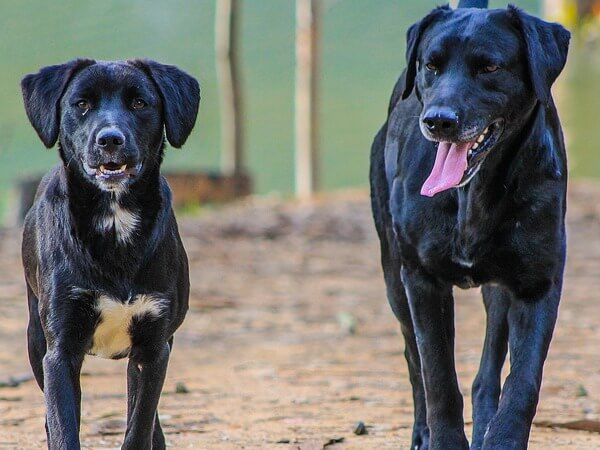 male dog after mating