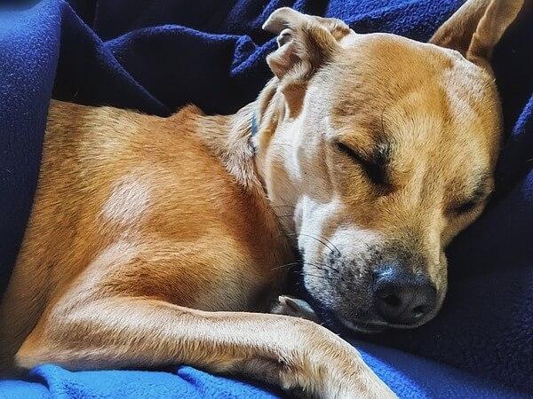 older dog breathing fast while sleeping