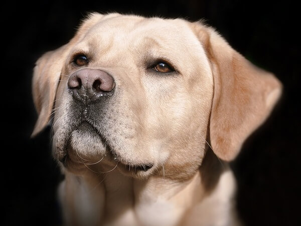 when is a male dog too old to breed
