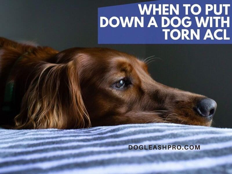 when to put a dog down with torn acl