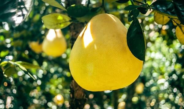 are pomelo good for dogs