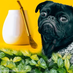 can dogs have peppermint tea