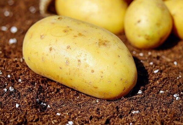 dog ate raw potatoes