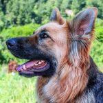 german shepherd dog ate sour cream