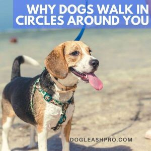 why does my dog walk in circles around me