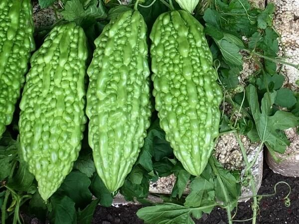 benefits of bitter gourd for dogs