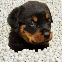 can dogs eat tapioca