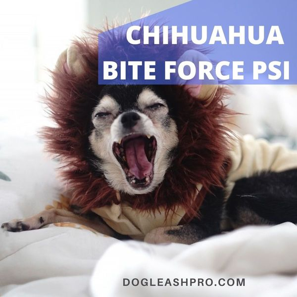 chihuahua bite force psi