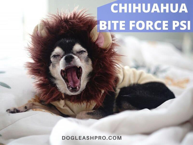 bite force of chihuahua