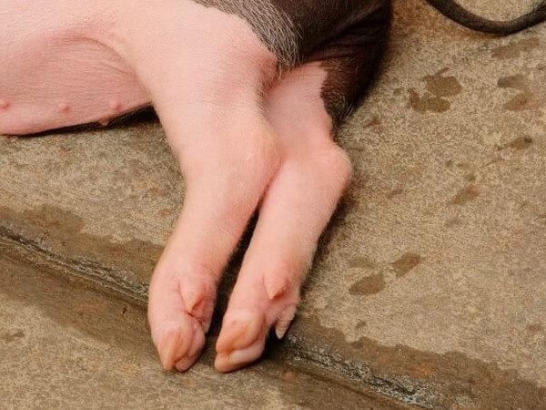 dogs love eating pigs feet treats