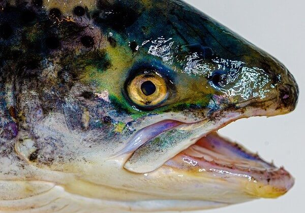 salmon fish head health benefits