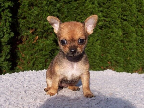 chihuahua colors fawn