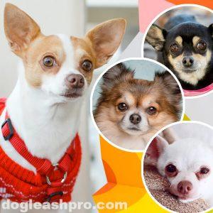 Chihuahua Colors