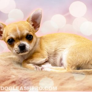 Chihuahua Pregnancy