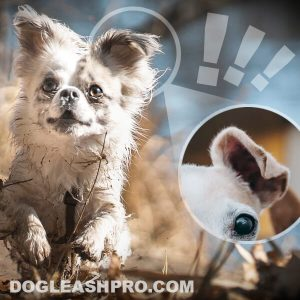 Chihuahua with Floppy Ears