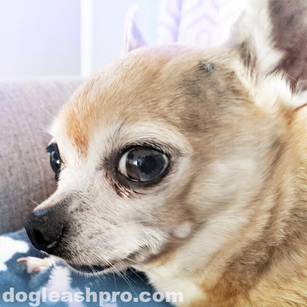 Crying Chihuahua