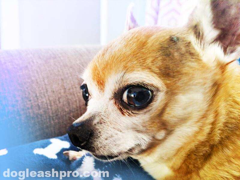 Crying Chihuahua dog