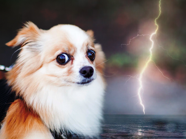 Crying Chihuahua is scared of weather conditions
