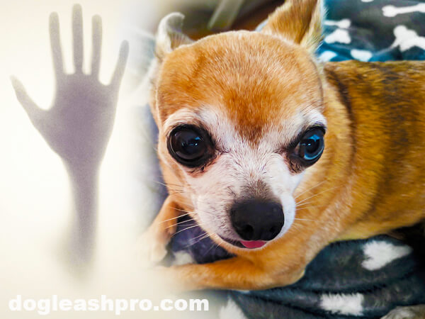 moving the chihuahua crate so your chihuahua can see you
