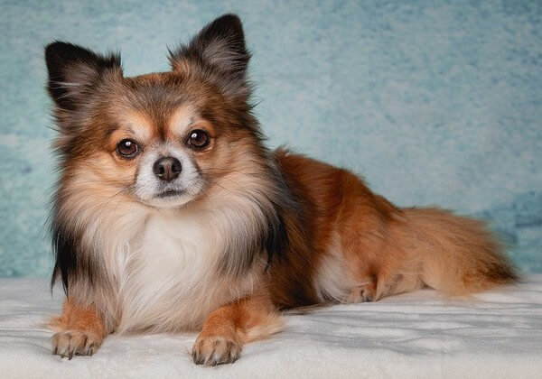 early signs of chihuahua pregnancy