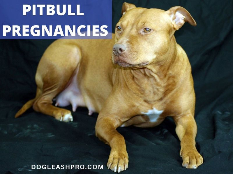how many puppys can a pitbull have